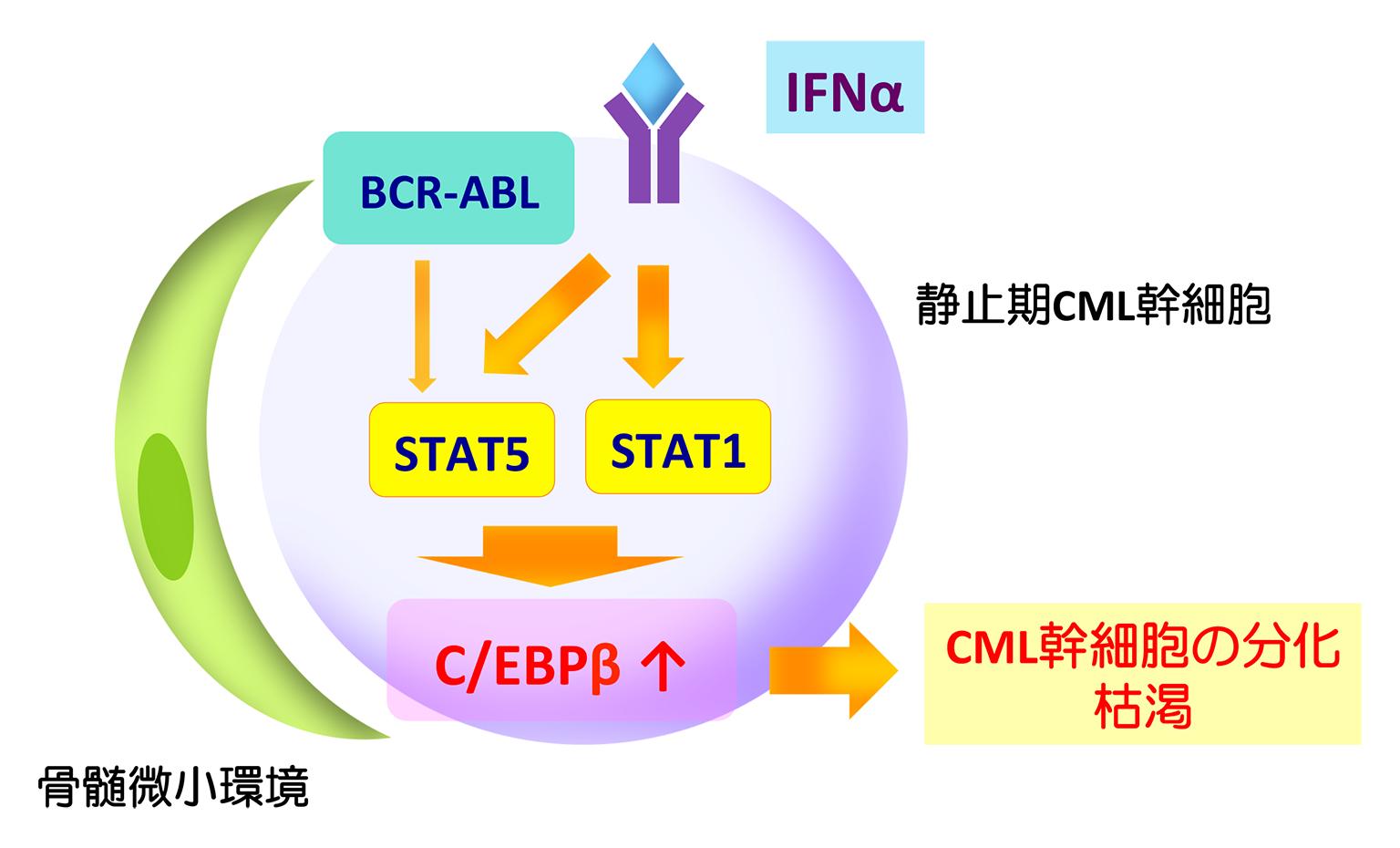 図 C/EBPβを介したCML幹細胞に対するIFNαの作用