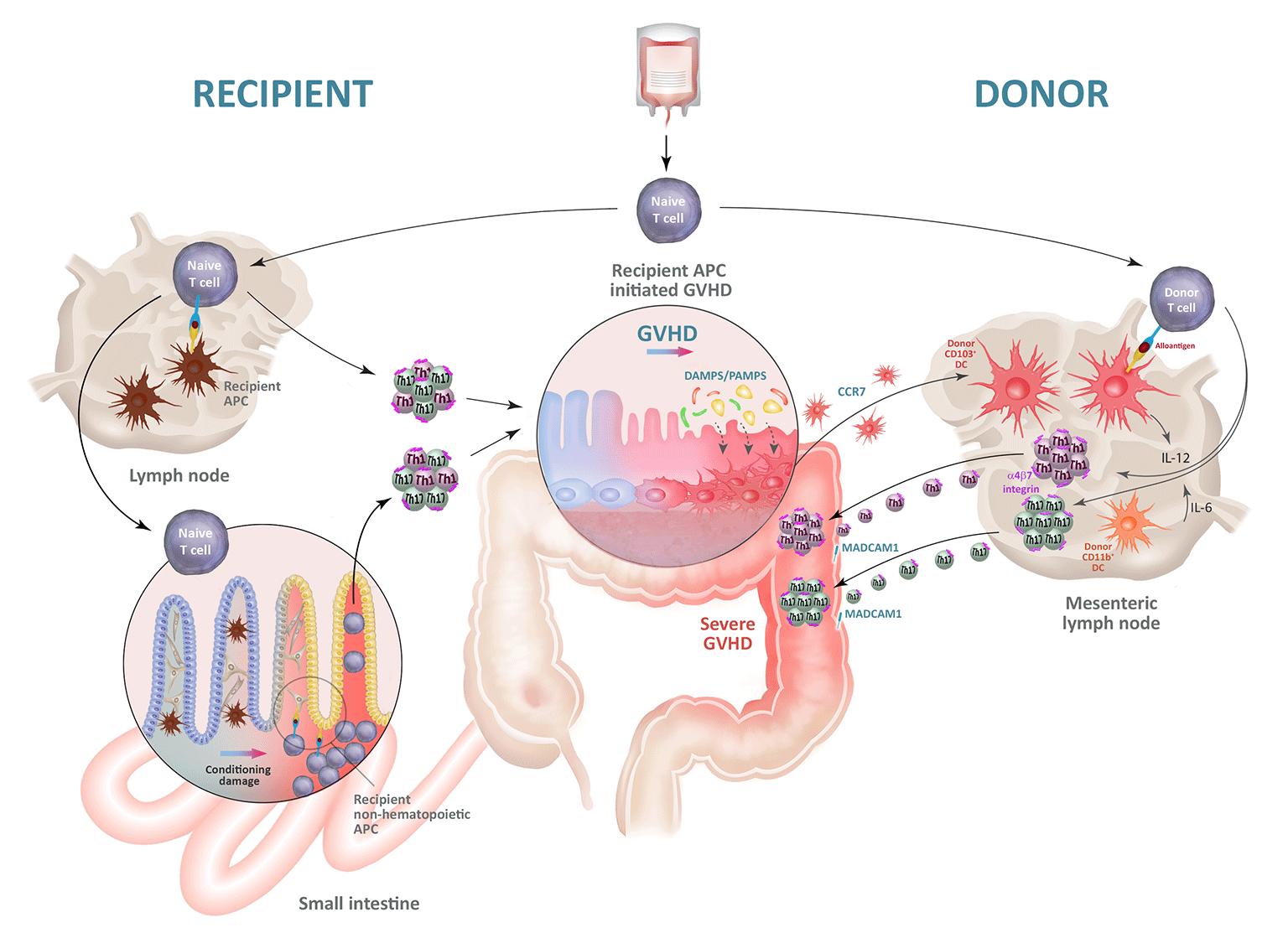 図 アロ抗原提示によるGVHD発症と病態の進行