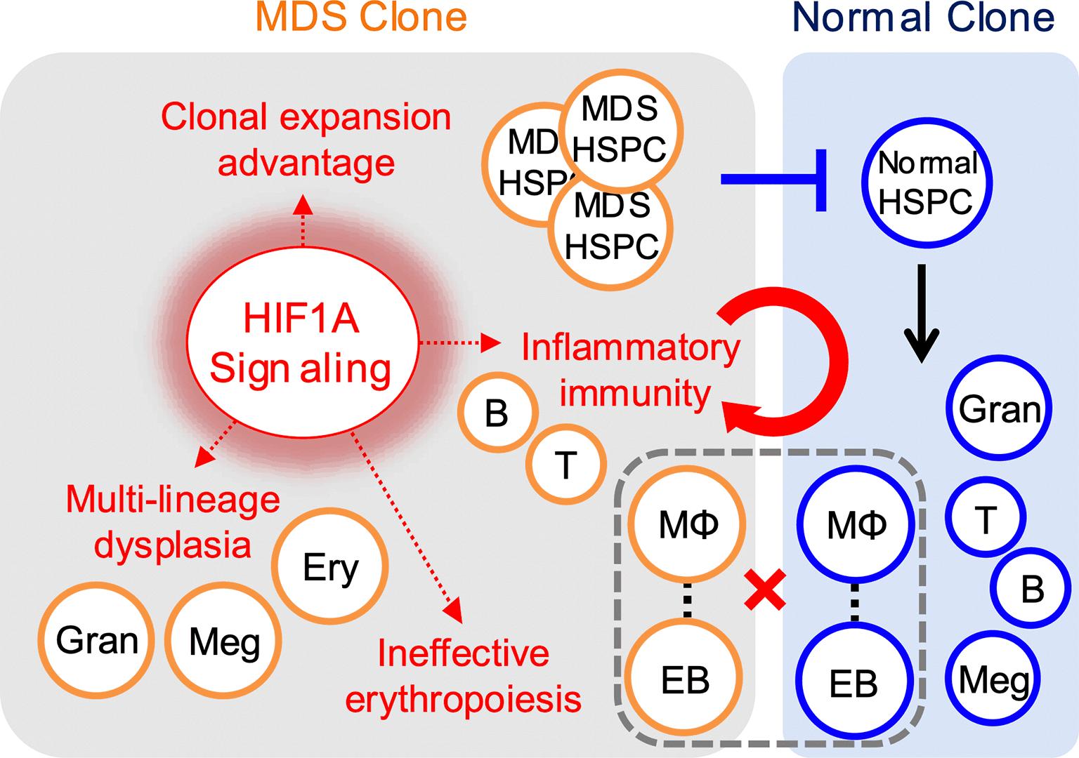 図1 Model for HIF1A signaling mediated MDS development.